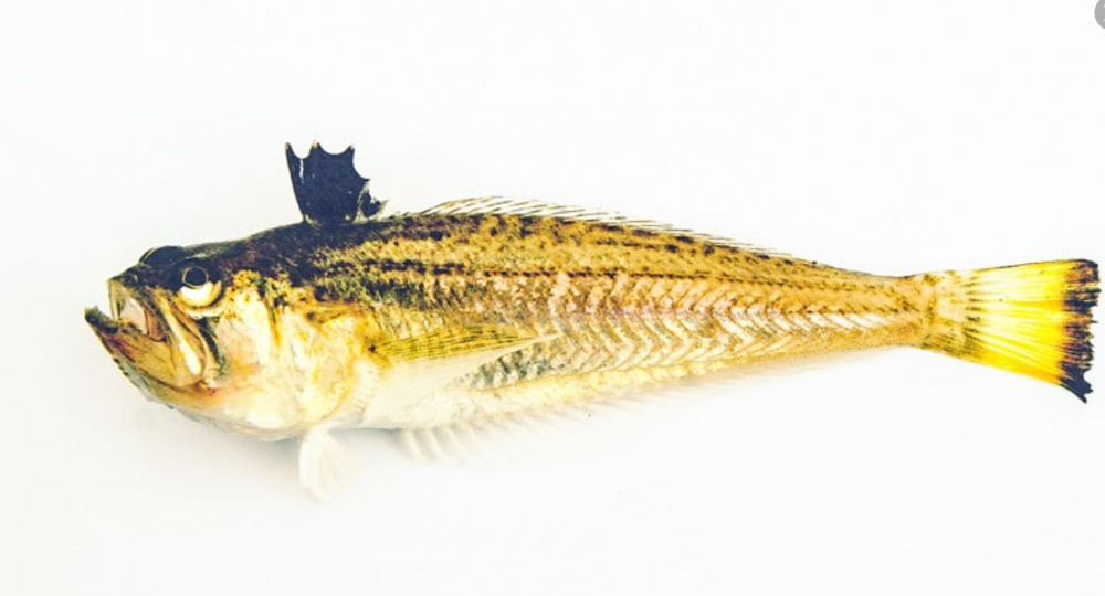 Weever Fish